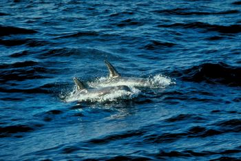 Dead Dolphins Blamed On Disease