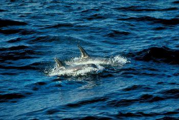 Dolphin Deaths Blamed On Virus