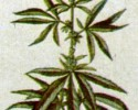 Marijuana Plant (clip art)