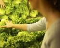food lettuce