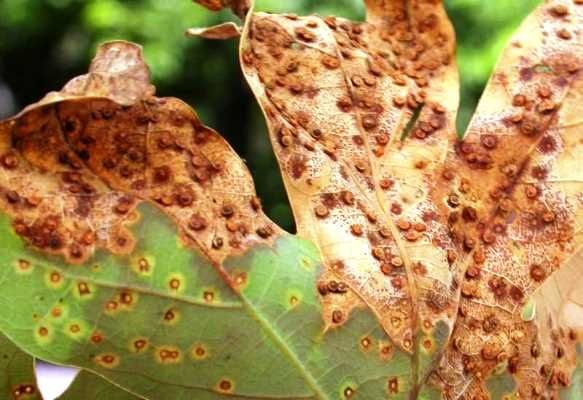 Wasp Damages White Oak Trees In Region