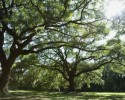 Trees Oak (clipart)